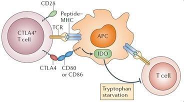 类风湿关节炎(RA)治疗新药研制中,T细胞有何存在价值?